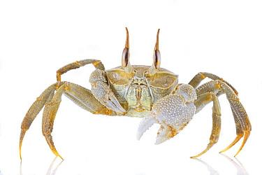 Ghost Crab (Ocypode sp), Vamizi Island, Mozambiqiue