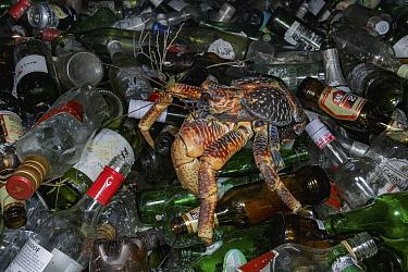 Coconut Crab (Birgus latro) on recycled bottles, Vamizi Island, Mozambique
