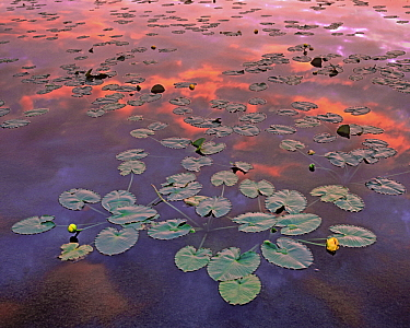 Yellow Pond Lily (Nuphar luteum) pads in pond at sunset, Weminuche Wilderness, Colorado