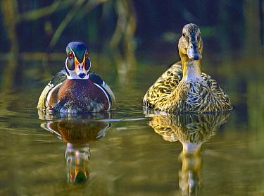 Wood Duck (Aix sponsa) male and Mallard (Anas platyrhynchos) female, North America