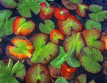 Yellow Pond Lily (Nuphar luteum) pads, North America