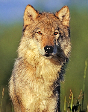 Gray Wolf (Canis lupus), native to North America