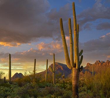 Saguaro (Carnegiea gigantea) cactus with holes made by woodpeckers, Tucson Mountains, Arizona