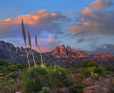 Agave (Agave sp) plants, Organ Mountains, Aguirre Spring Recreation Area, New Mexico