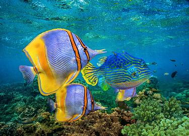 Butterflyfish (Chaetodon sp) group and male Horned Boxfish (Lactoria cornuta), Coral Coast, Australia