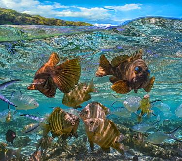 Rock Cod (Lotella rhacina) pair and Blackspot Sergeant (Abudefduf sordidus), Ningaloo Reef, Australia