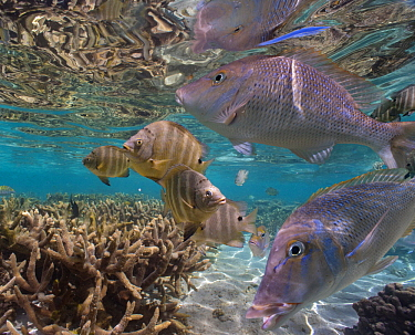 Snapper (Lutjanidae) and Blackspot Sergeant (Abudefduf sordidus) school, Ningaloo Reef, Australia