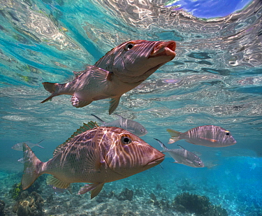 Snapper (Lutjanidae) pair, Ningaloo Reef, Australia