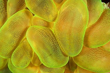 Rounded Bubblegum Coral (Plerogyra sinuosa), Great Barrier Reef, Australia