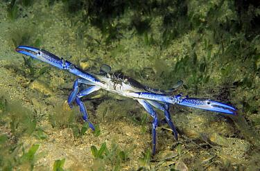 Blue Swimming Crab (Portunus pelagicus) in defensive posture, Yorke Peninsula, South Australia, Australia