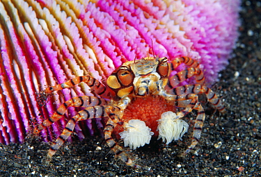 Boxing Crab (Lybia tessellata) female with eggs holding sea anemone for defense, Bali, Indonesia