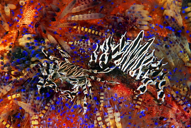 Adam's Urchin Crab (Zebrida adamsii) pair on Fire Urchins (Asthenosoma varium), Lembeh Strait, Indonesia