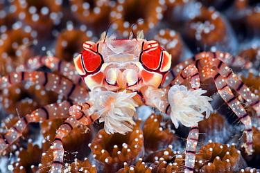 Boxing Crab (Lybia tessellata) holding sea anemones used for defense, Anilao, Philippines
