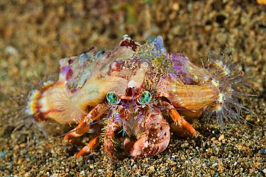 Anemone Hermit Crab (Dardanus pedunculatus) covered with sea anemones used for camouflage, Great Barrier Reef, Australia