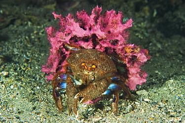 Sponge Crab (Cryptodromia octodetata) with sponge used for camouflage, Edithburgh, Yorke Peninsula, South Australia, Australia