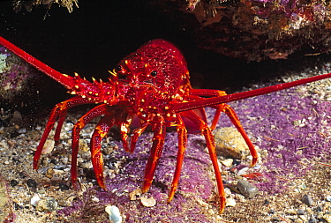 Southern Rock Lobster (Jasus edwardsii), Australia