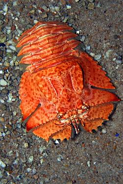 Slipper Lobster (Ibacus alticrenatus), native to Australia and New Zealand