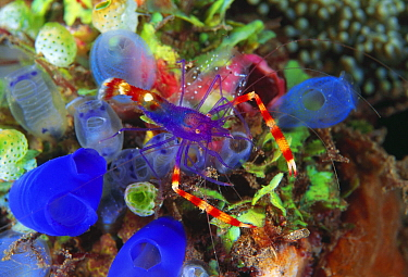 Blue Coral Banded Shrimp (Stenopus tenuirostris) on sea tunicates, Bali, Indonesia