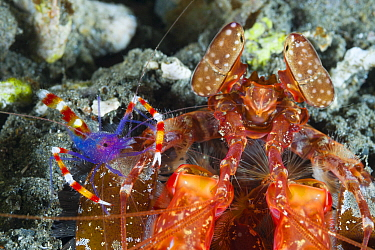 Blue Coral Banded Shrimp (Stenopus tenuirostris) and Radar Shrimp (Lysiosquillina sp), Milne Bay, Papua New Guinea