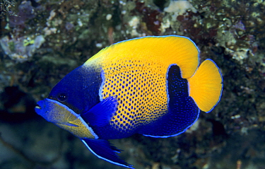 Blue-girdled Angelfish (Pomacanthus navarchus), Great Barrier Reef, Australia