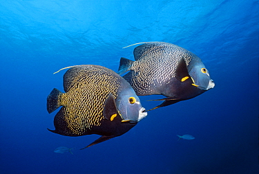 French Angelfish (Pomacanthus paru) pair, Grand Cayman Island, Cayman Islands, Caribbean