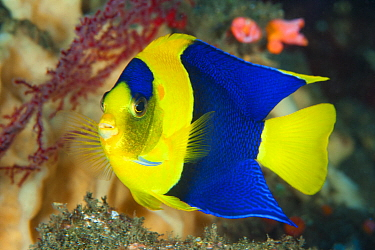 Blue And Gold Angelfish (Centropyge bicolor), Tulamben, Bali, Indonesia