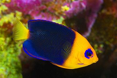 Cocos Angelfish (Centropyge joculator), Keeling Islands, Australia