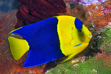 Blue And Gold Angelfish (Centropyge bicolor), Great Barrier Reef, Australia