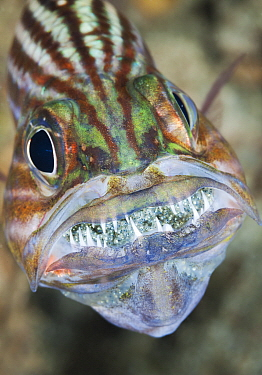 Intermediate Cardinalfish (Cheilodipterus intermedius) male incubating eggs in mouth, Great Barrier Reef, Australia