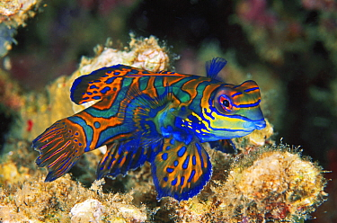 Mandarinfish (Synchiropus splendidus), Great Barrier Reef, Australia