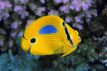 Blueblotch Butterflyfish (Chaetodon plebeius), Great Barrier Reef, Australia
