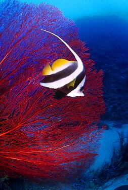 Longfin Bannerfish (Heniochus acuminatus) and sea fan, Great Barrier Reef, Australia