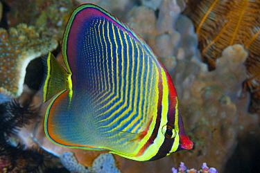 Triangle Butterflyfish (Chaetodon triangulum), Anilao, Philippines