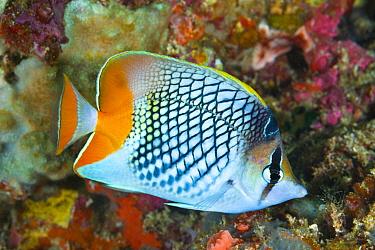 Cross-hatch Butterflyfish (Chaetodon xanthurus), Anilao, Philippines