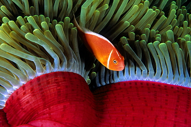 Pink Anemonefish (Amphiprion perideraion) male in sea anemone, Great Barrier Reef, Australia
