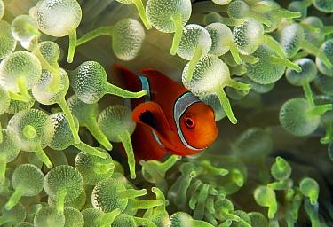 Spine-cheek Anemonefish (Premnas biaculeatus) juvenile in sea anemone, Great Barrier Reef, Australia
