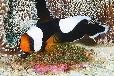 Saddleback Anemonefish (Amphiprion polymnus) guarding eggs by sea anemone, Anilao, Philippines