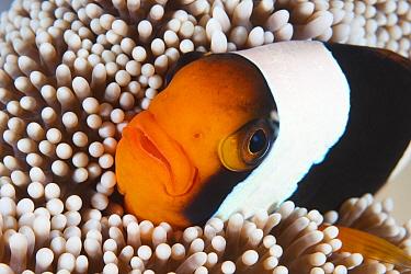 Saddleback Anemonefish (Amphiprion polymnus) in sea anemone, Anilao, Philippines