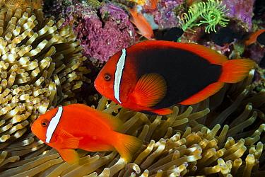 Tomato Clownfish (Amphiprion frenatus) pair in sea anemone, Philippines