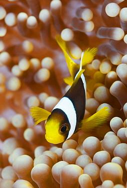 Clark's Anemonefish (Amphiprion clarkii) juvenile in sea anemone, Papua New Guinea