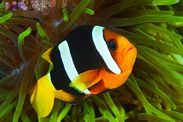 Clark's Anemonefish (Amphiprion clarkii) in sea anemone, Papua New Guinea