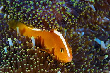 Golden Anemonefish (Amphiprion sandaracinos) in sea anemone, Milne Bay, Papua New Guinea
