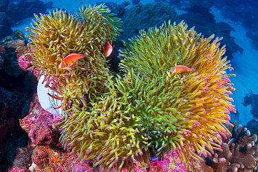 Pink Anemonefish (Amphiprion perideraion) trio in sea anemone, Christmas Island, Australia