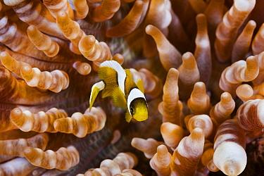 Clark's Anemonefish (Amphiprion clarkii) juvenile in sea anemone, Great Barrier Reef, Australia