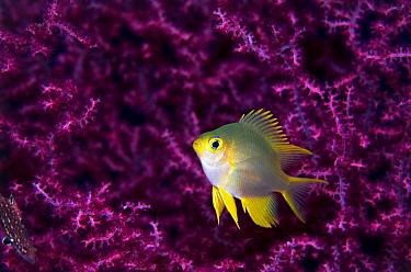 Golden Damselfish (Amblyglyphidodon aureus) juvenile among coral, Great Barrier Reef, Australia