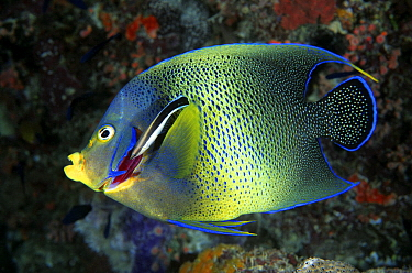 Blue-streaked Cleaner Wrasse (Labroides dimidiatus) cleaning gills of Semicircle Angelfish (Pomacanthus semicirculatus), Great Barrier Reef, Australia