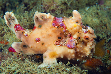 Commerson's Frogfish (Antennarius commersonii), Anilao, Philippines
