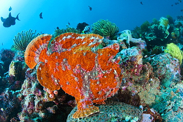 Commerson's Frogfish (Antennarius commersonii) in reef, Anilao, Philippines