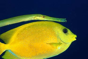 Chinese Trumpetfish (Aulostomus chinensis) hiding near Coral Rabbitfish (Siganus corallinus) to sneak up on prey, Bali, Indonesia