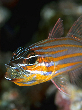 Yellow-striped Cardinalfish (Apogon cyanosoma) male aerating eggs held inside mouth, Great Barrier Reef, Australia